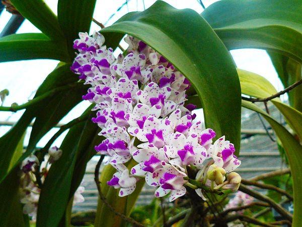 56b8a64d2fa51 El género Vanda se compone de unas 60 especies de orquídeas que se reparten  por el