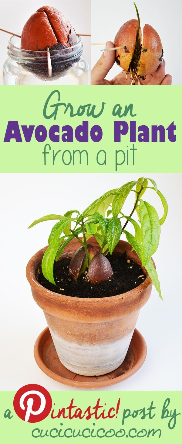 Come Piantare Il Mango how to grow an avocado plant from a pit   avocado plant