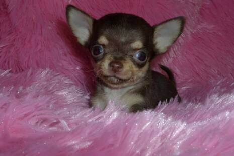 Applehead Chihuahua Puppies For Sale Apple Head T Cups