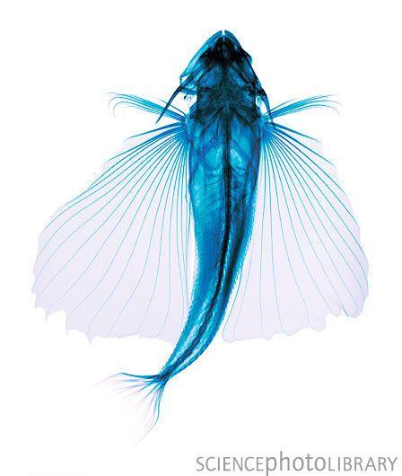 Coloured X Ray Of Flying Fish Seashell Pinterest Fly Fishing
