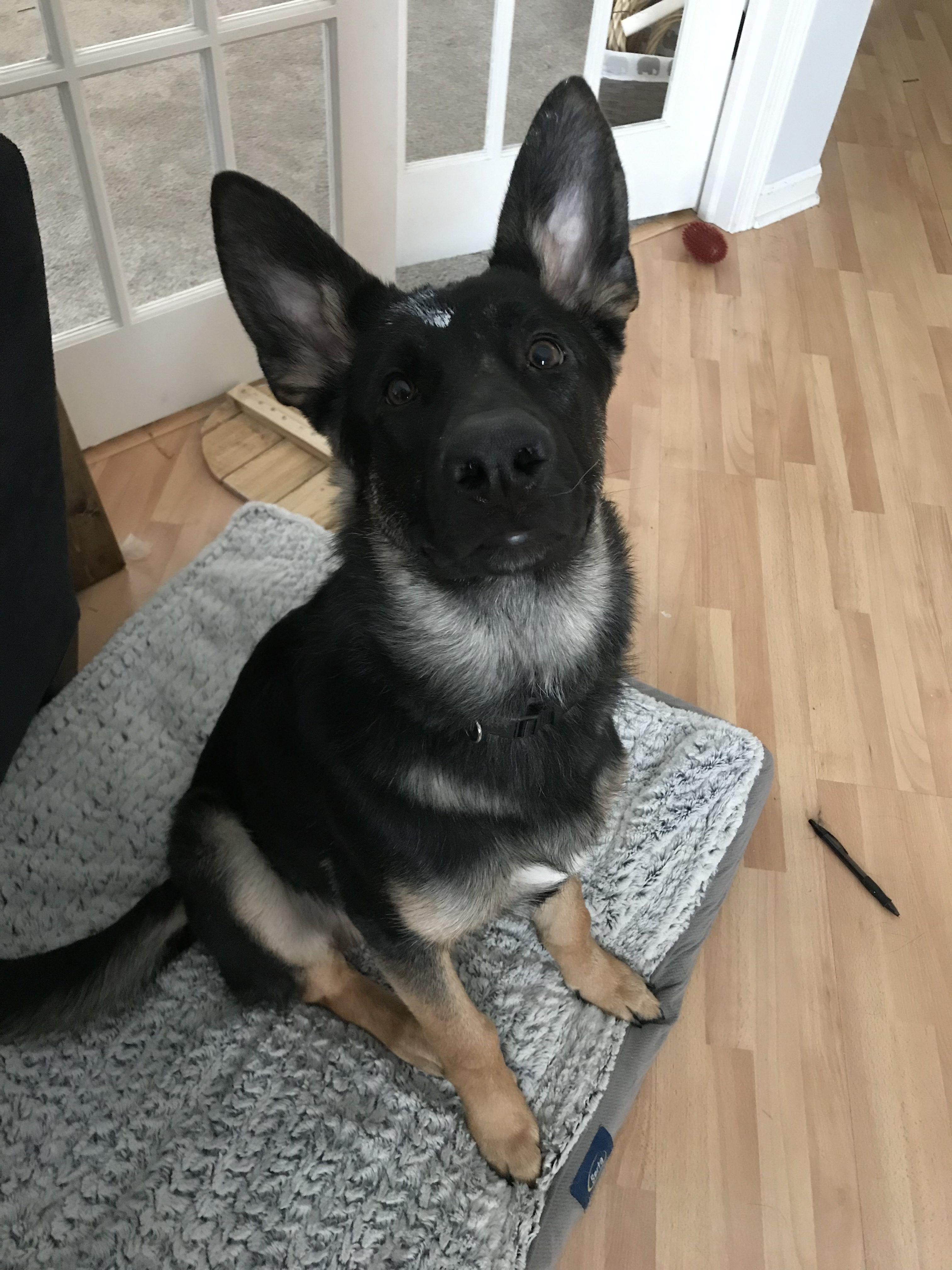 Fuzzy German Shepherd Puppies Ideas
