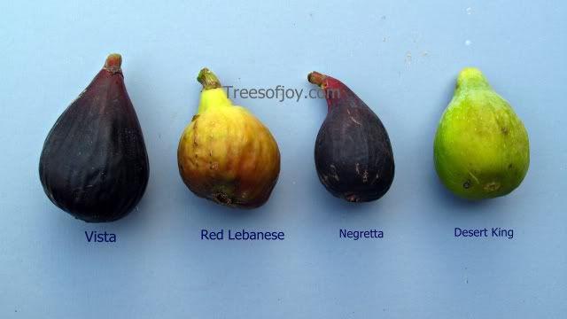 Breba The Bonus Figs Crop Trees Of Joy Fig Tree Fig Varieties Fig