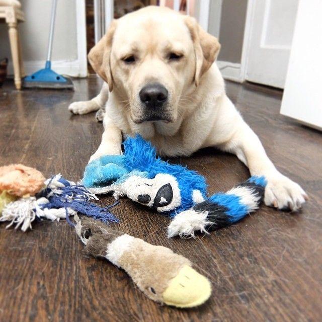 Hasil gambar untuk dog guilty destroys toys