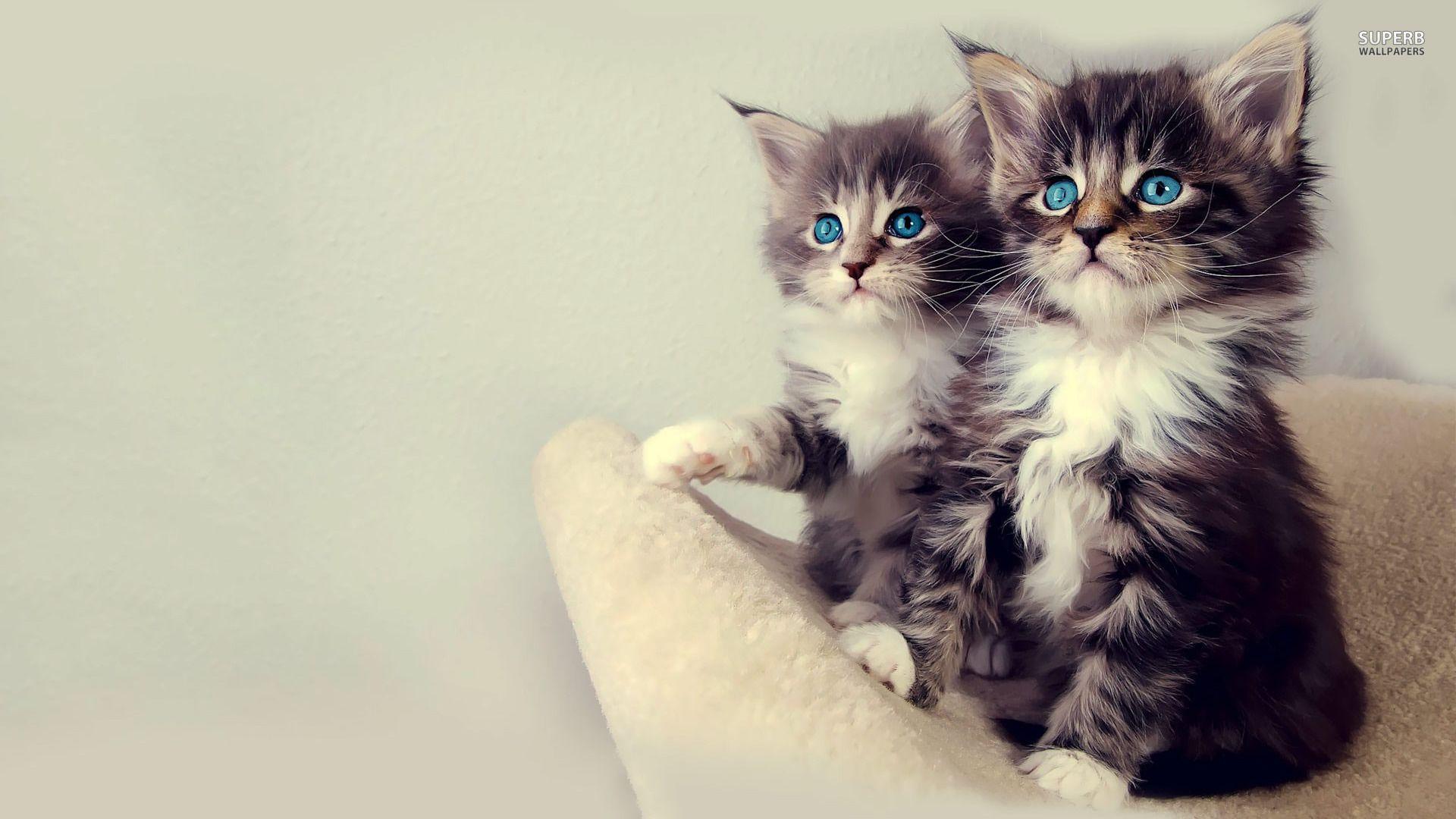 Blueeyed Ragdoll kitten photo WP