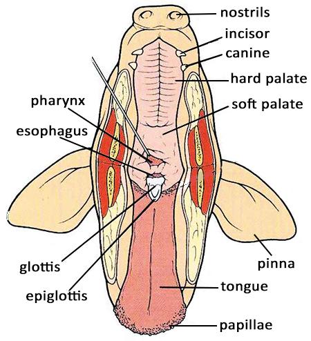 ultimate fetal pig anatomy review science anatomy, anatomy  fetal pig esophagus diagram #10