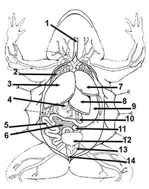 Frog Dissection Coloring Frog Dissection Frog Dissection Worksheet Frog