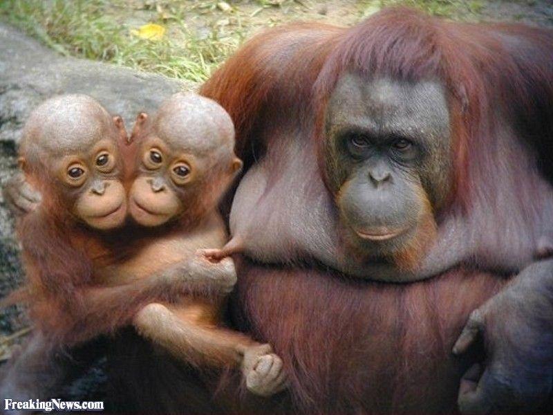 Two Headed Animals Monkeys Funny Orangutan Animal Fails