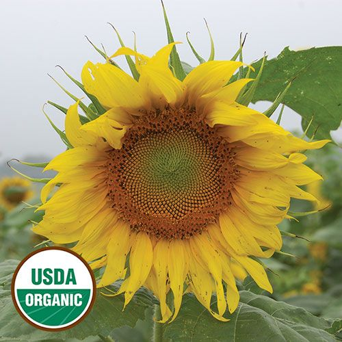 Rostov Sunflower Sunflower Bloom Where Youre Planted Flower Seeds Packets