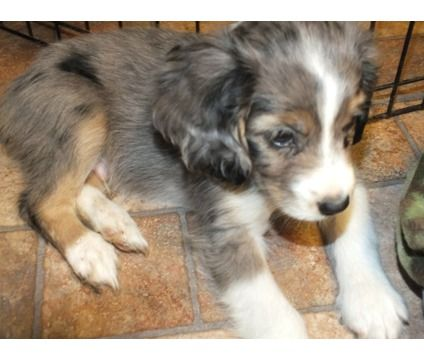 Dogs For Sale In Newark Miniature Australian Shepherd