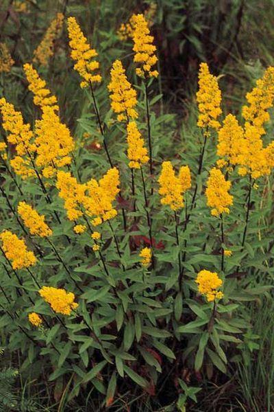 Golden Rod Plants Native Plants Prairie Garden