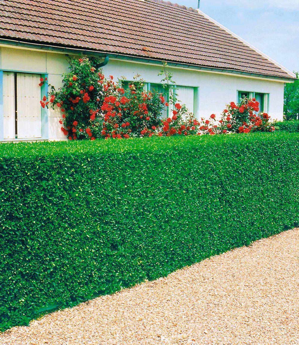 Sichtschutz Hecke Pflanzen LigusterHecke 1APflanzen