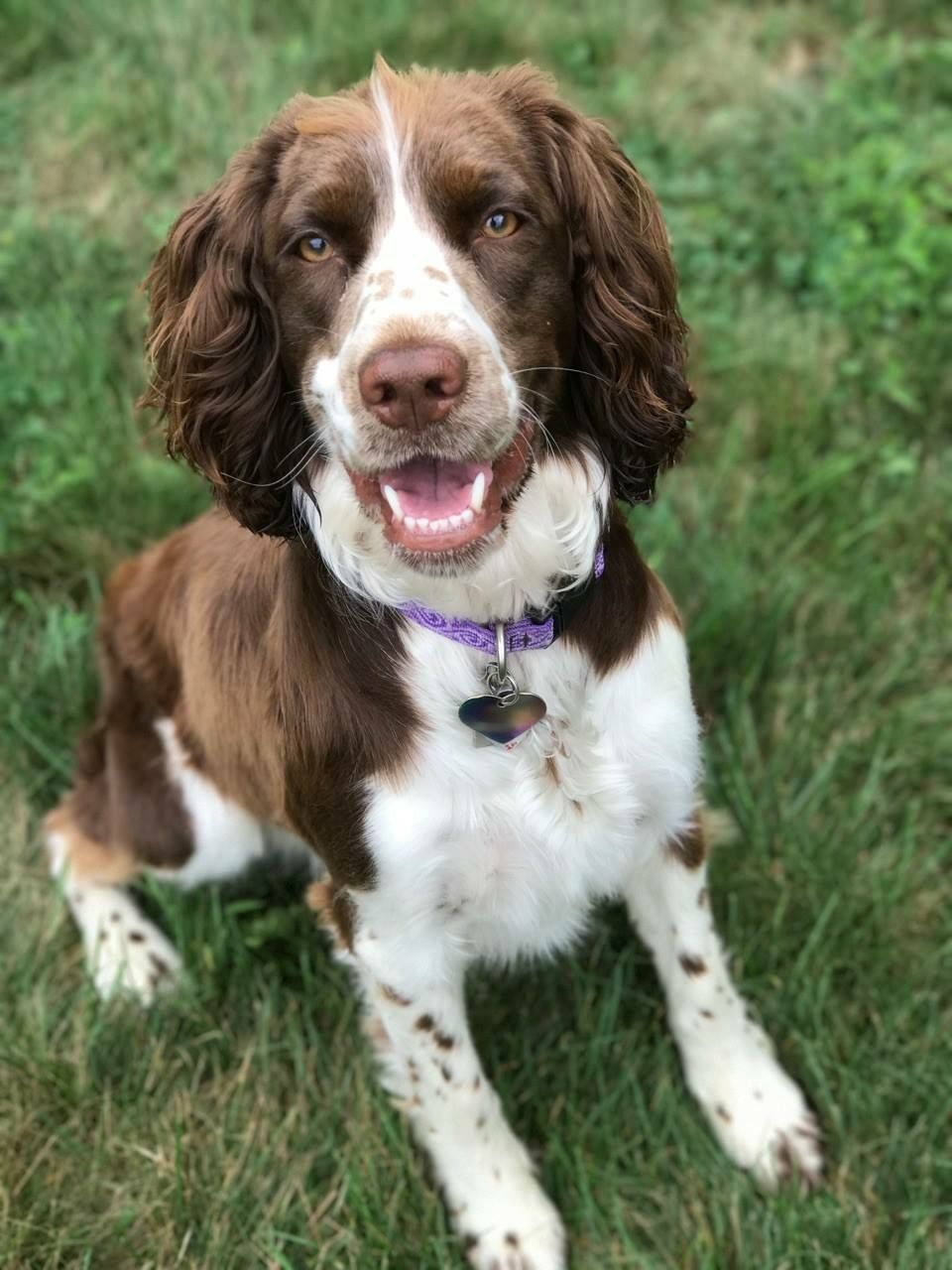 Springer Spaniel Cute Puppies And Dog Training Advice By