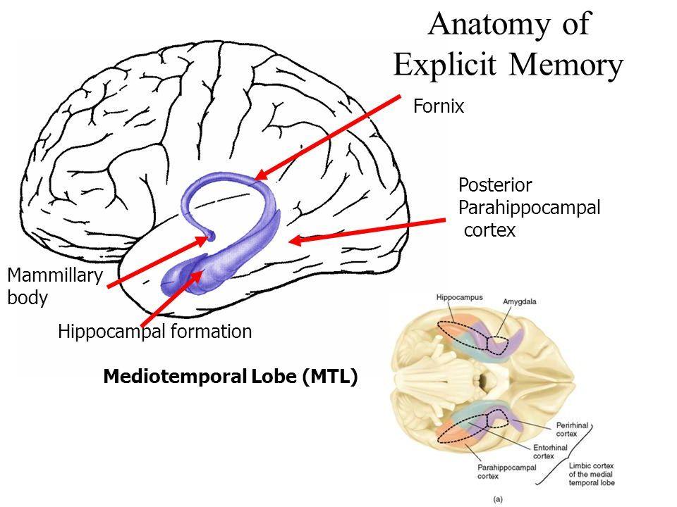 Image result for mammillary bodies short term memory | neuro anatomy ...