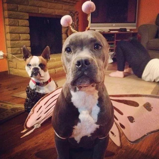 I Ma Butterfly Pitbull Dog Pitbull Terrier Pitbulls Pitbull