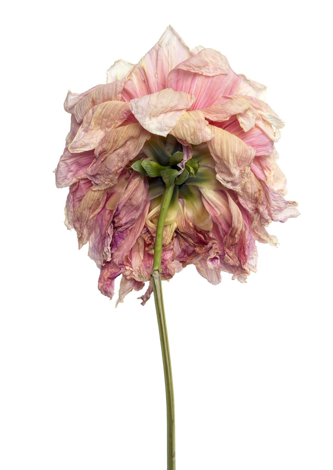 Pin by chris dangtran on bloom pinterest peony flowers and dahlia dry flowers dahlias peonies painted walls holding hands textile art air poppy frozen mightylinksfo Gallery