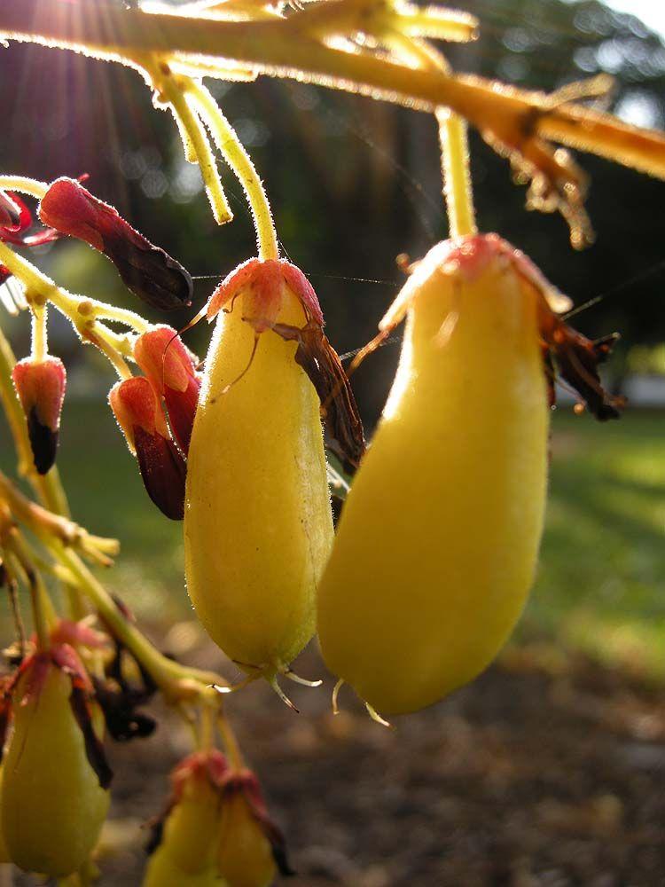 Singapur. Bilimbi Esta rara fruta exótica es muy popular en Tailandia, Malasia y Singapur. En la India, donde se encuentra generalmente en los jardines, el bilimbi ha ido salvaje en las regiones más cálidas del país.