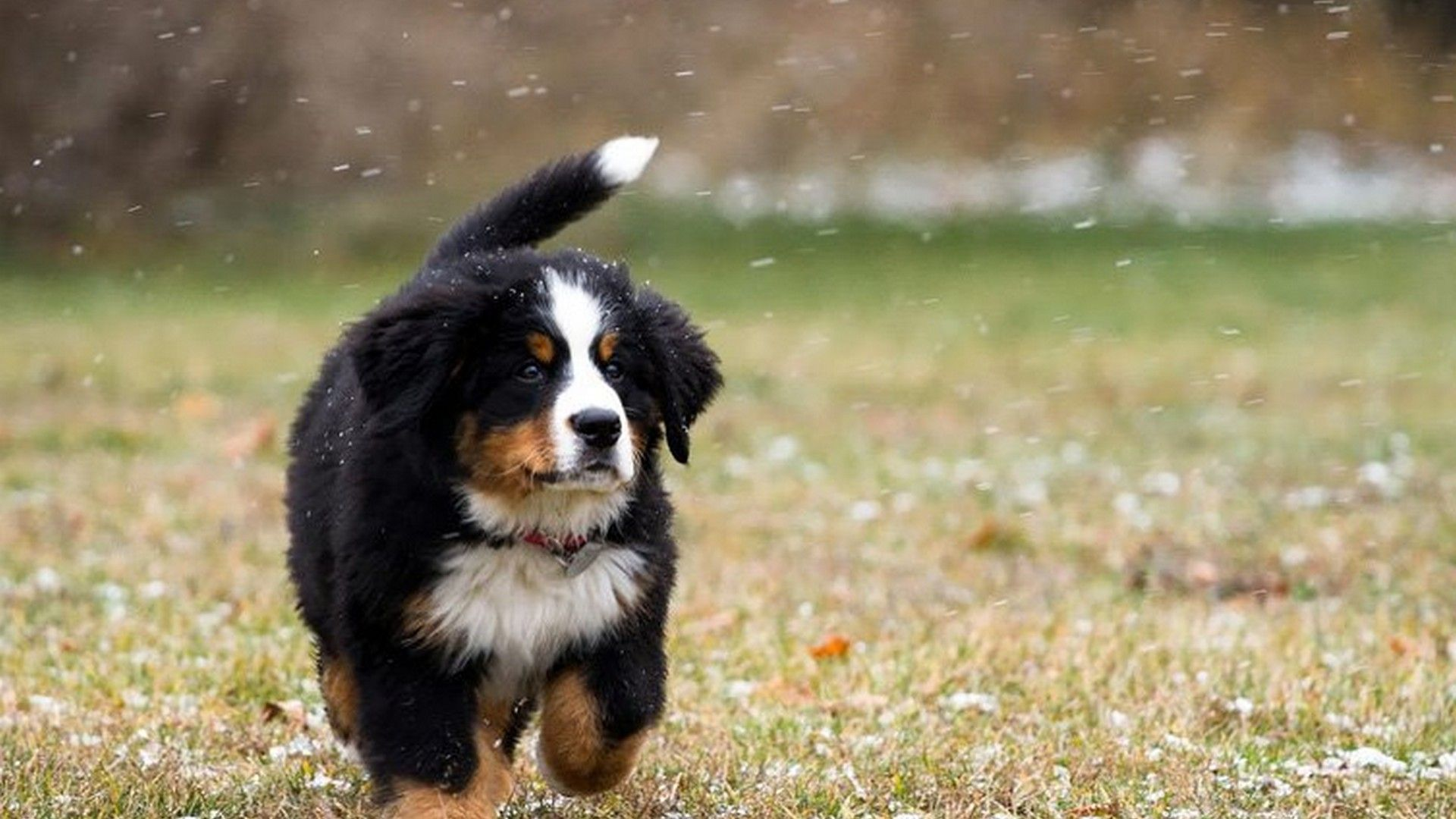 Hd Cute Puppies Pictures Backgrounds Best Hd Wallpapers Bernese Mountain Dog Puppy Puppy Dog Images Dogs And Puppies