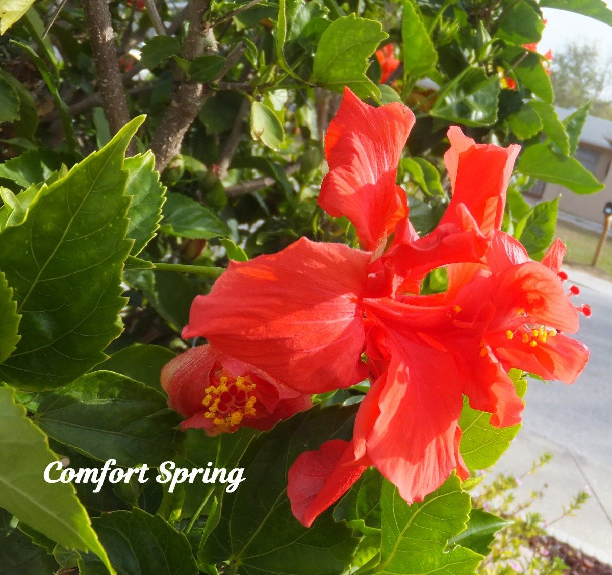 Red hibiscus blooms comfort spring blog pinterest hibiscus red hibiscus blooms izmirmasajfo
