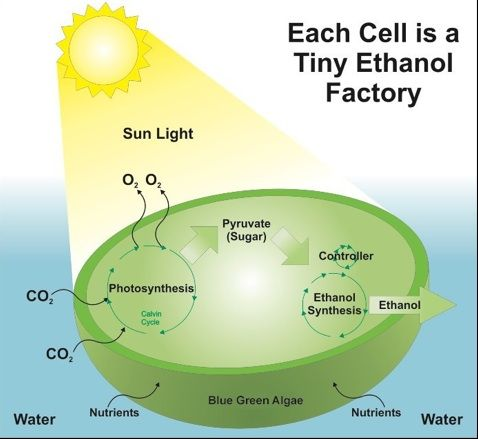algae-cell-making-ethanol-diagram.jpg 478×439 pixels | Microalgae ...
