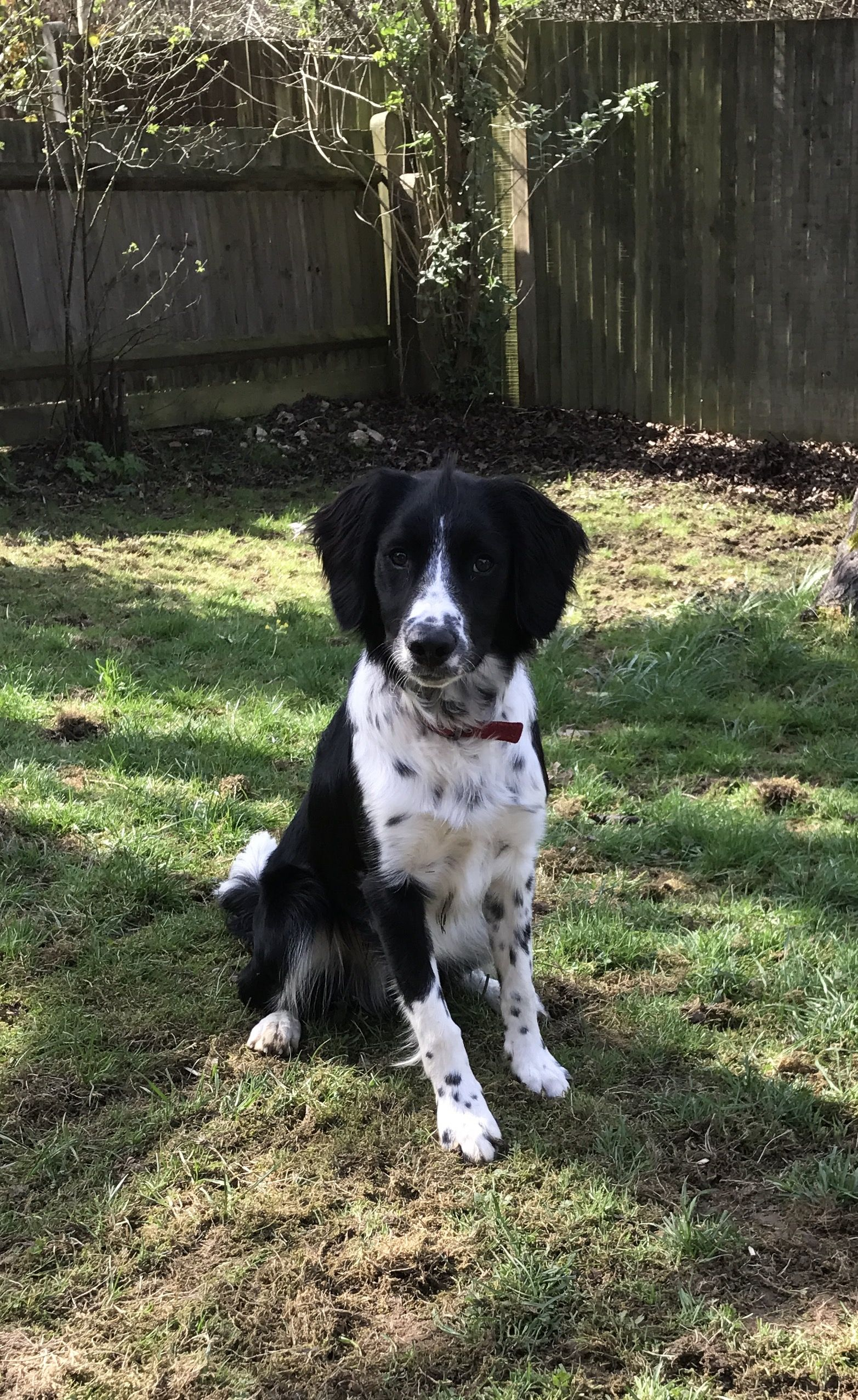 Sprollie Collie Springer Spaniel Mix Sprollie Collie Dog Dogs