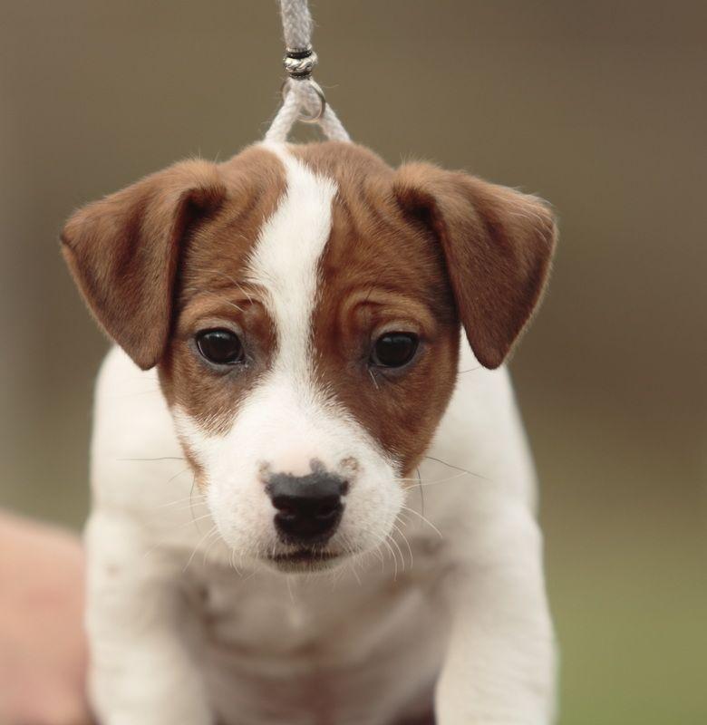 Chiots Jack Russel Lof A Vendre Elevage Allier Elevage Puy De Dome Auvergne Rhones Alpes Region Parisienn Chiot Jack Russel Jack Russell Terrier Chiot