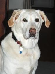 Adopt Candy On Labrador Retriever Dog Labrador Retriever Retriever Dog