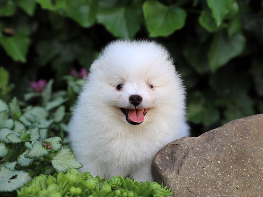 Pomeranian Pomeranian Puppy Pomeranian Puppy For Sale Dogs For