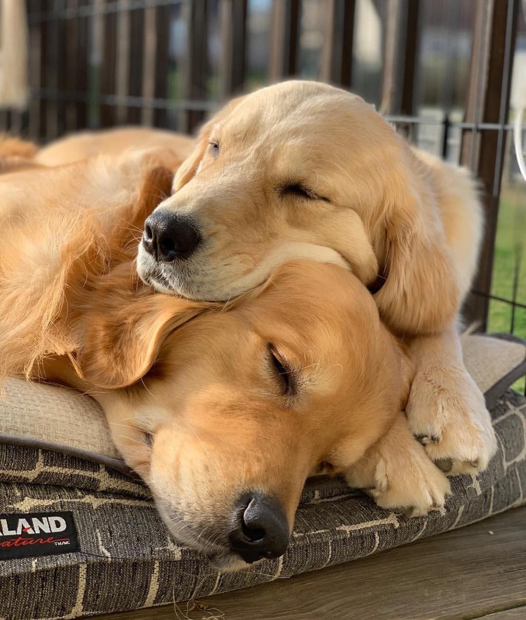 Sent By Waterfrontgoldens Dogsofinstaworld Golden Retriever Golden Retriever Labrador Mix Dogs For Adoption Uk
