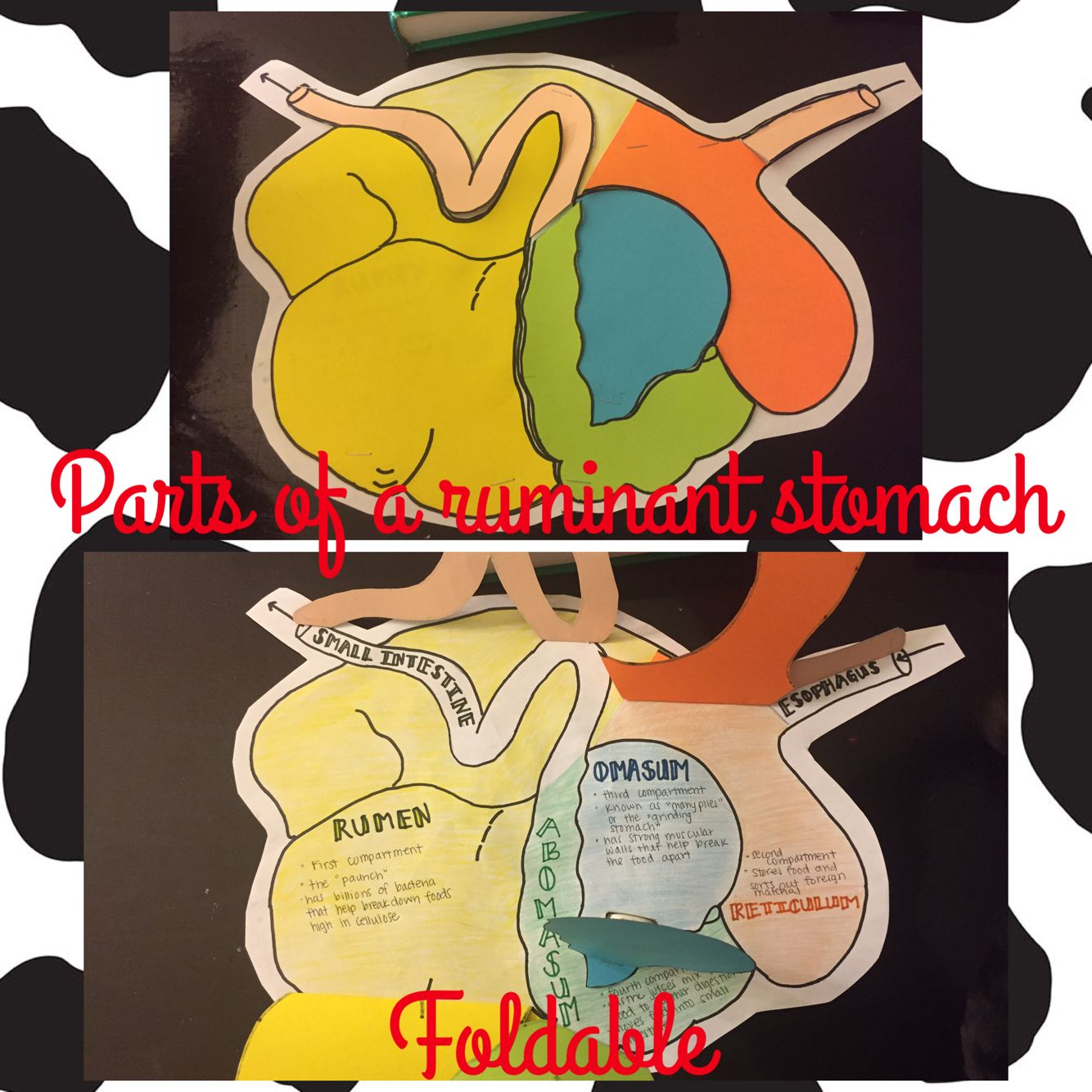 Parts Of A Ruminant Stomach Foldable