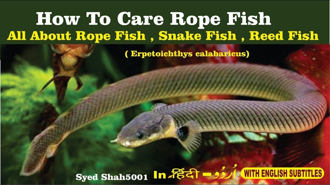 How To Care Ropefish Reedfish Snake Fish Eel Fish Rope Fish Care Info Fish Care Fish Glass Catfish