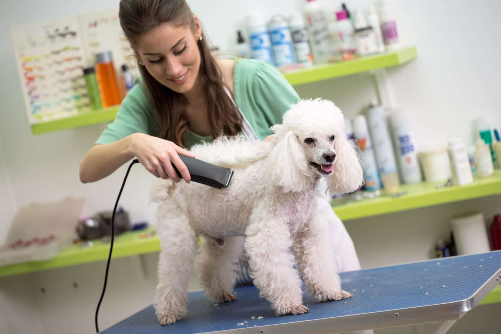 Smiling Woman Haircut White Poodle Luckybusiness Getty Images Dog Grooming Clippers Dog Clippers Dog Groomers