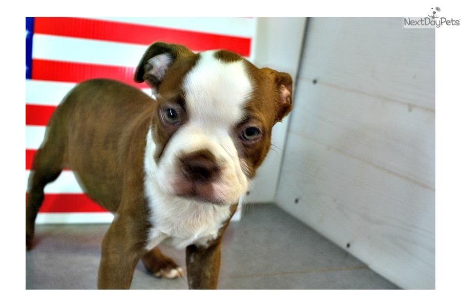 Meet Argus A Cute Boston Terrier Puppy For Sale For 600 Argus