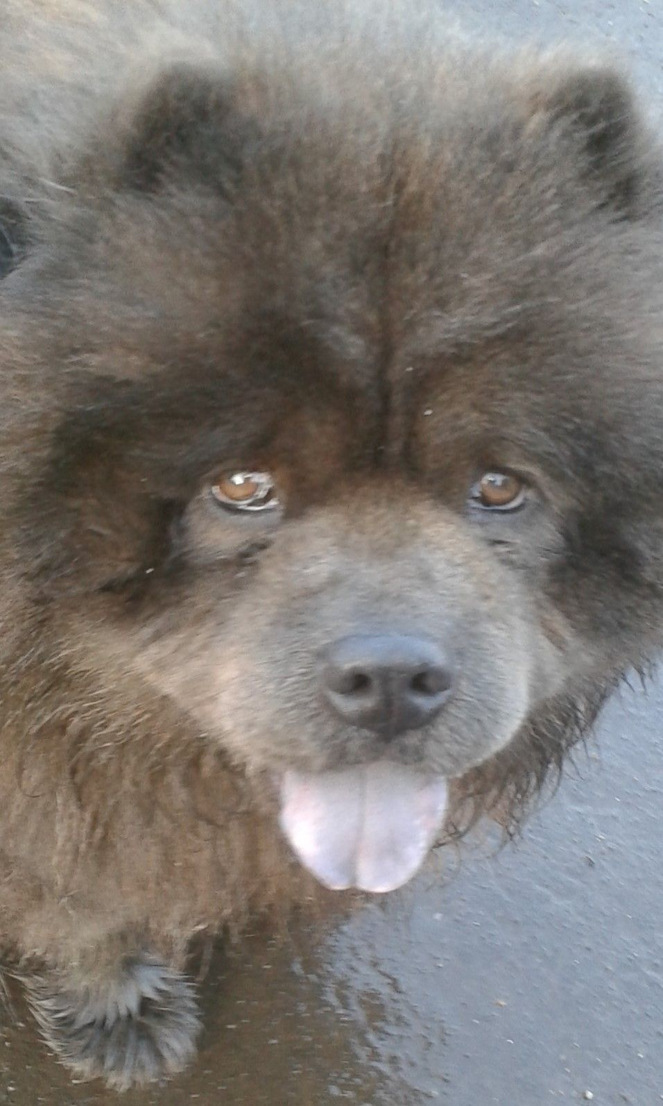 Vasili The Blue Chow Chow Out On A Walk Chow Chow Puppy Chow
