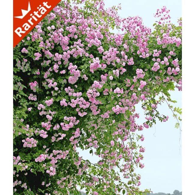 rambler-rose 'paul's himalayan musk rambler', 1 pflanze - baldur, Terrassen ideen