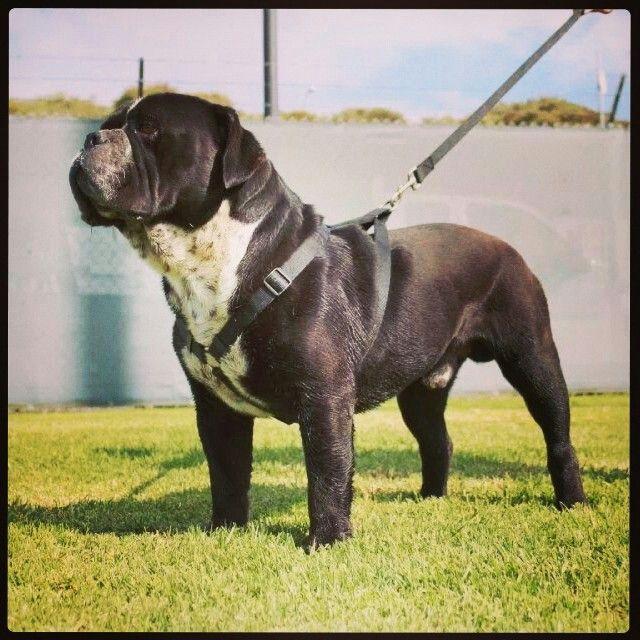 Blackjack The Ripper Black Seal Color Olde English Bulldogge Www