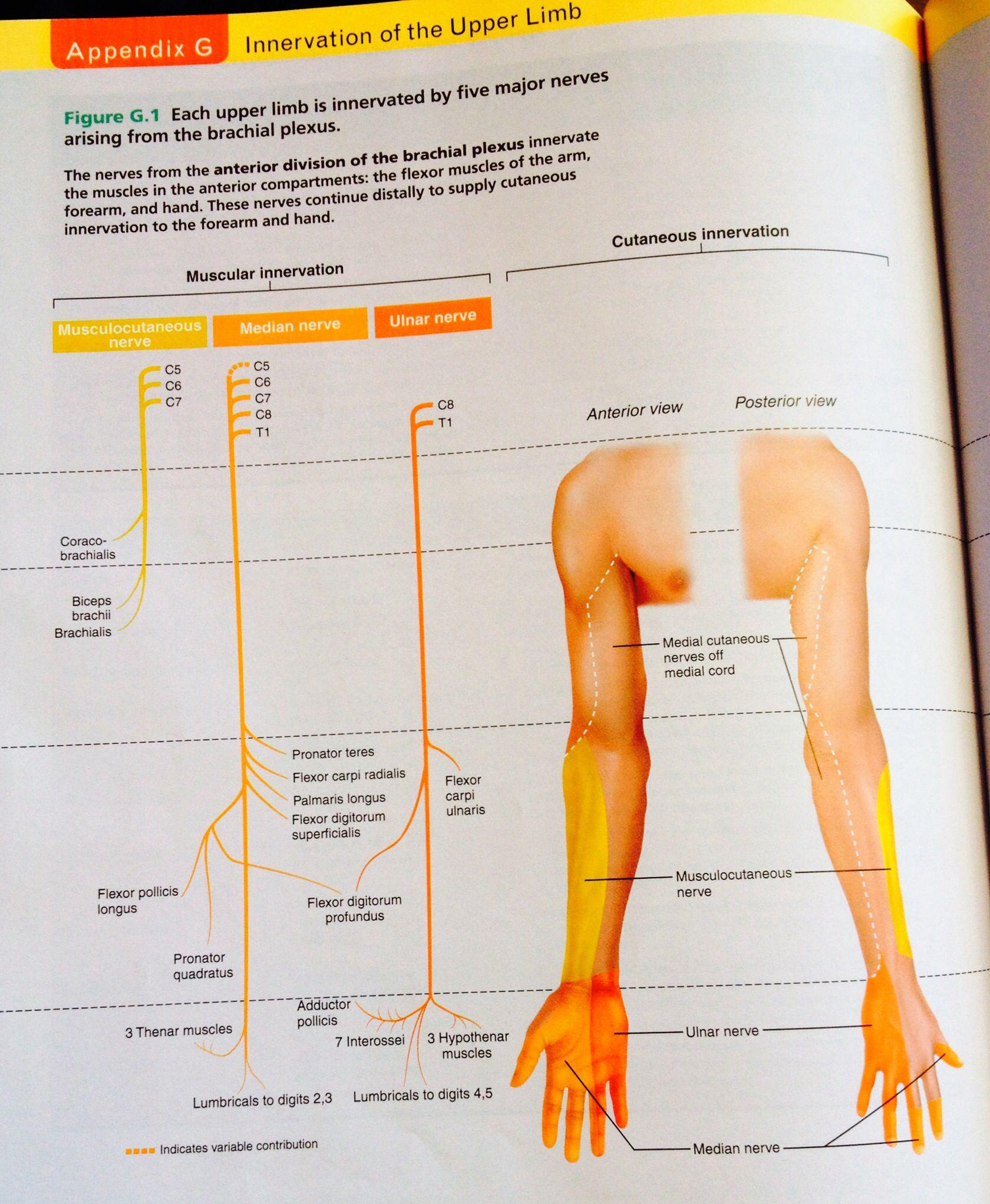 Upper limb innervation. Human anatomy & physiology-Marieb ...