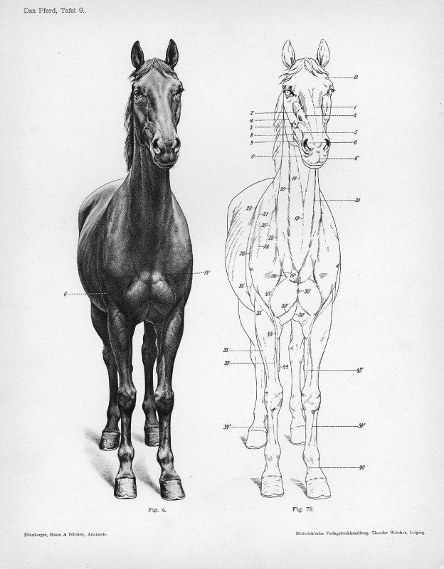 Horse anatomy by Herman Dittrich – front view | Horse anatomy ...