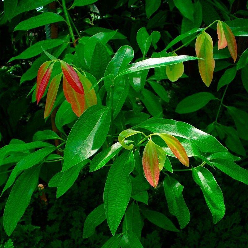 Canela Semillas Sage Garden Plants Herbs