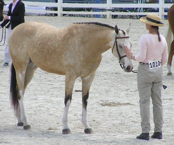 Godspeed Faux Finish ... 2004 to 2013 ... :(. buckskin 2004 Thoroughbred mare by Guaranteed Gold out of Puchi Trap, standing just under 17hh, is a stunning, unique one of a kind mare.