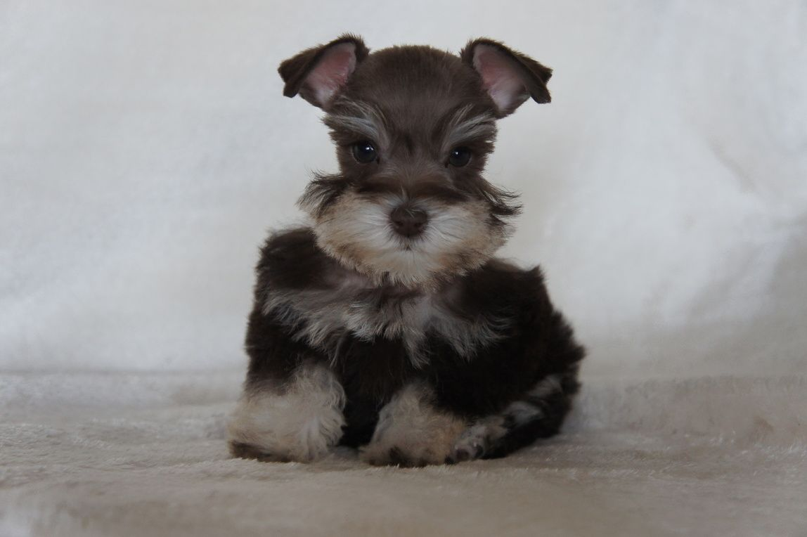Toy Miniature Schnauzers Crown Schnauzers Teacup Toy And