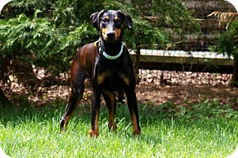 Greensboro Nc Doberman Pinscher Meet Clarice A Dog For