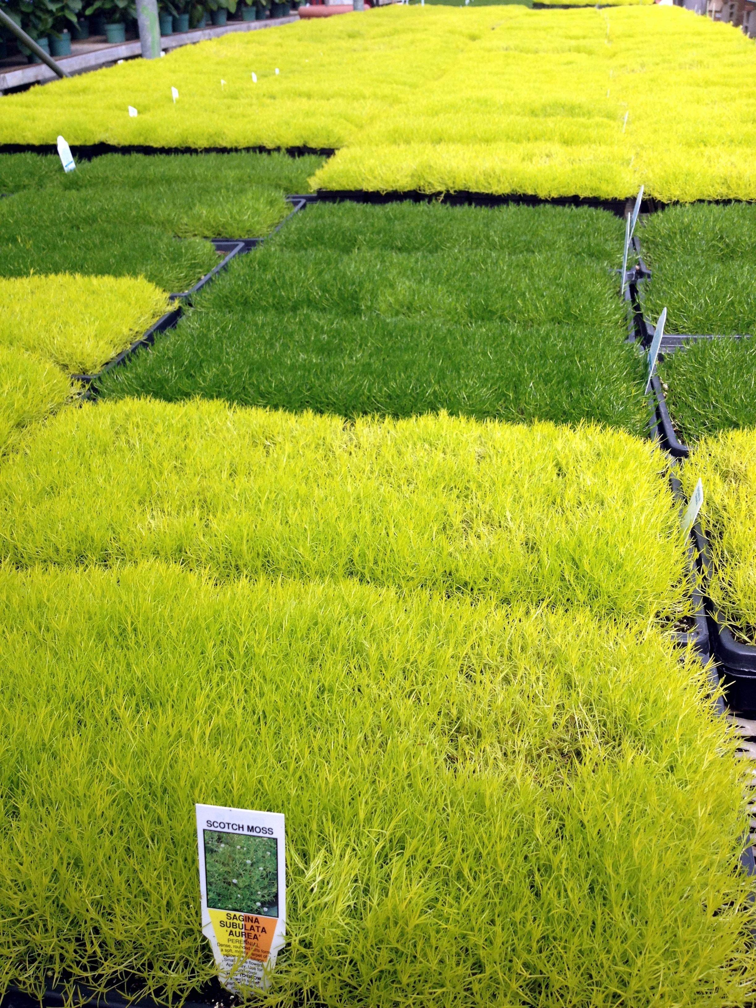 How to grow irish moss ground cover - Scotch And Irish Moss