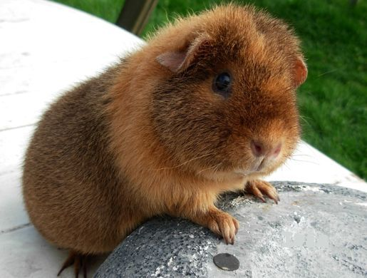 wow... teddy guinea pig is very cute :)
