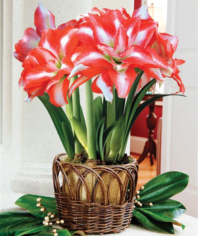 Амариллис цветок купить в интернет магазине
