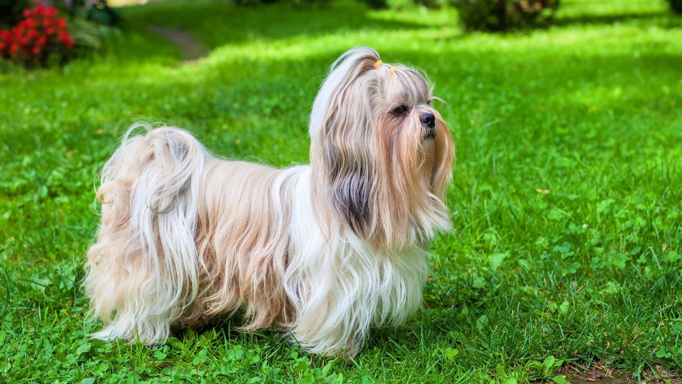 250 Fantastic Shih Tzu Names Dog Names Top Dog Breeds Shih Tzu