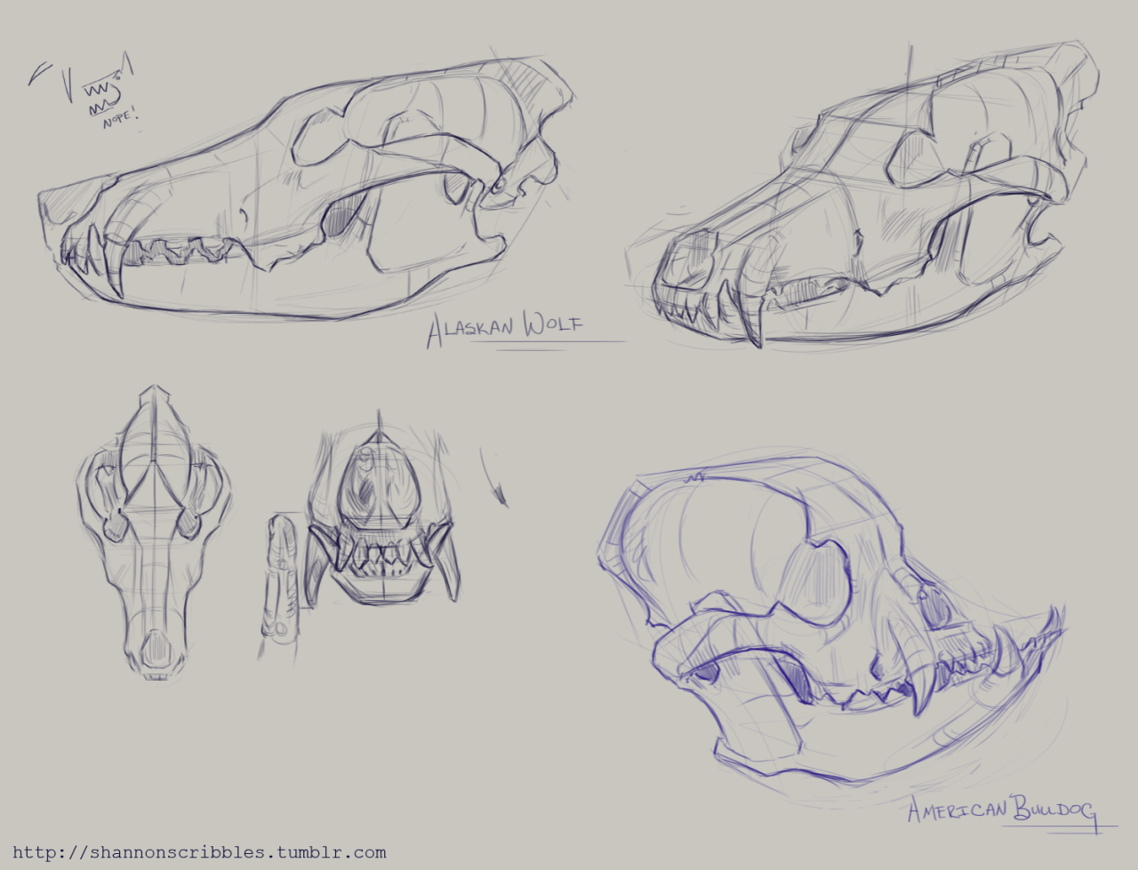 Canine skulls for the week 4 content. | Animal anatomy, Anatomy and ...