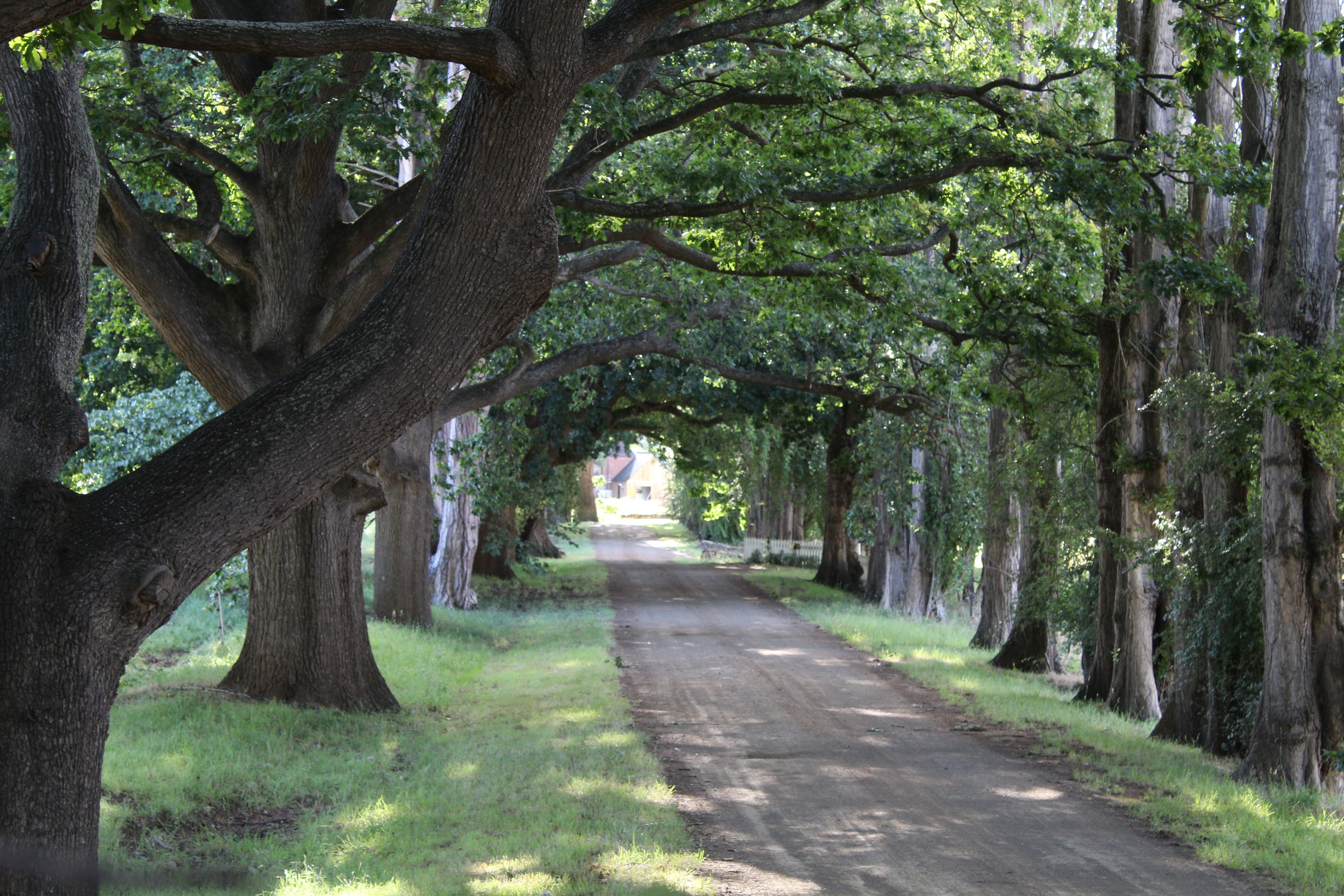 Oak Tree's aligning a gravel road puts me in mind of a childs Fairy Tale story - Redlands, Tasmania.