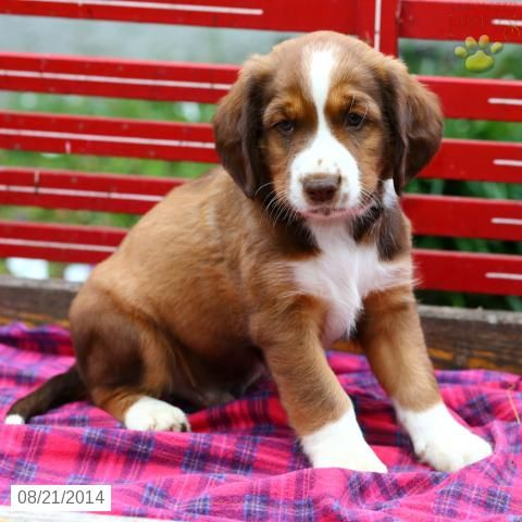 Springer Spaniel Mix Puppy For Sale In Pennsylvania Puppies