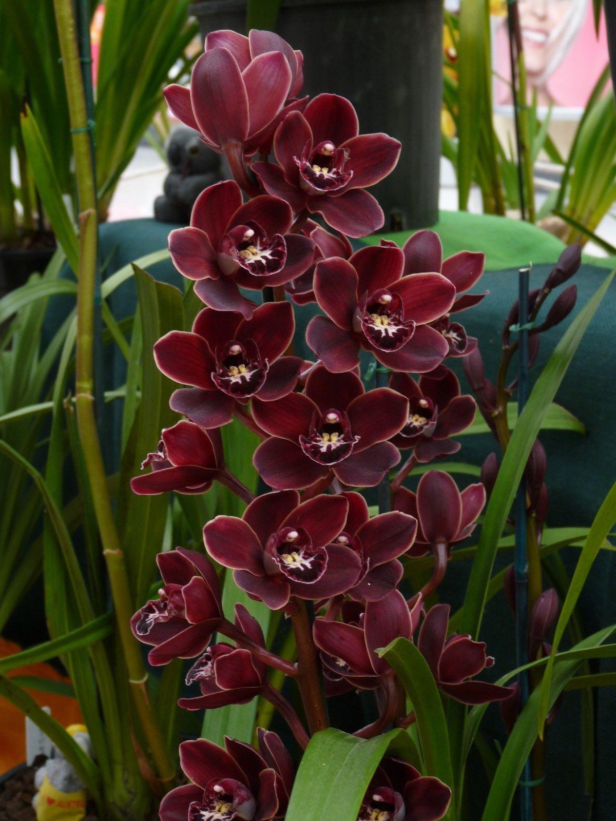Cymbidium Warringah Winter National Show Orchid Flower Orchids Cymbidium Orchids