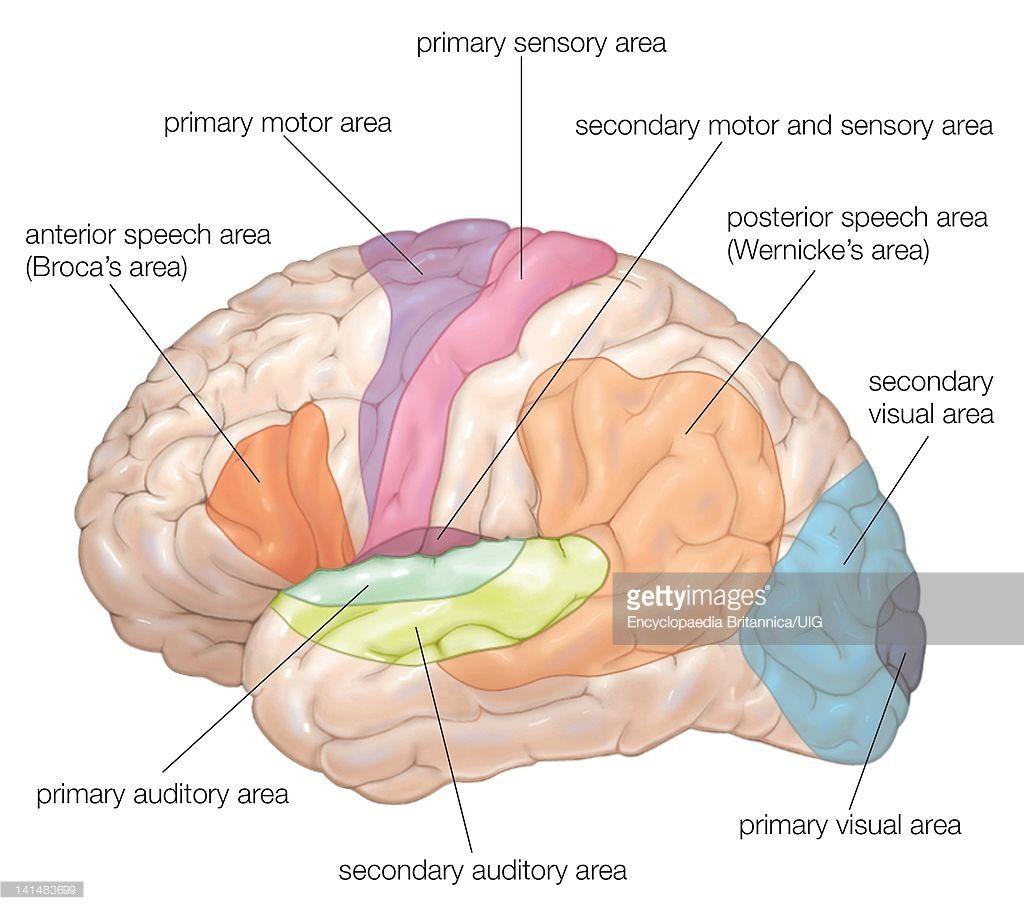 Diagram Of The Lateral View Of The Human Brain Showing The Cerebro Anatomia El Cerebro